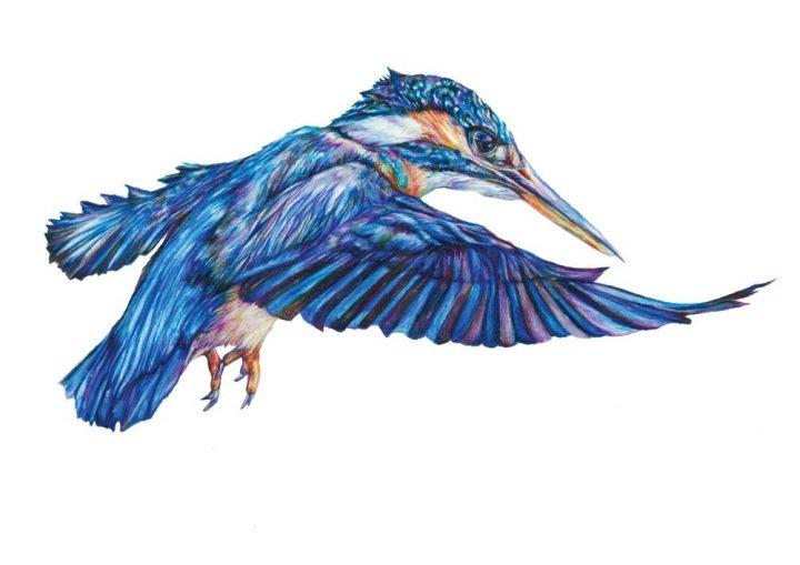 Line Drawing Kingfisher : Claudine o sullivan product categories jam art prints